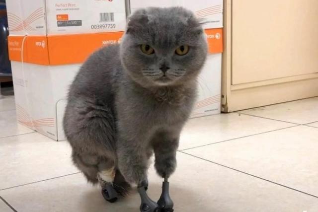 Созданные с использованием технологий ТПУ протезы установили в Новосибирске кошке, отморозившей все четыре лапы