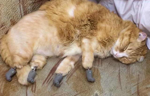 В Новосибирске коту без лап установили протезы, созданные с использованием технологий томских политехников