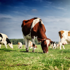 Ветеринарный препарат, разработанный учеными ТПУ и их партнерами, снизил смертность коров, кур и гусей