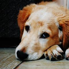 Разработанный в ТПУ препарат с наночастицами серебра успешно применяется при лечении чумки у собак